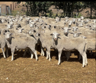 460 Future Breeder Ewe Lambs
