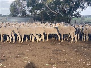 240 Store Wether Lambs