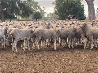 490 Store Wether Lambs