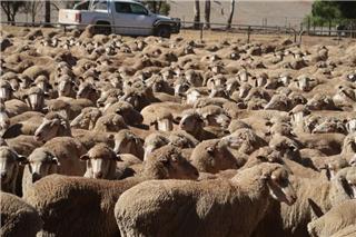 877 SIL Ewes