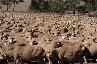1052 SIL Ewes