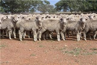 478 Store Wether Lambs