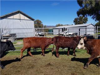 14 Unweaned Steers