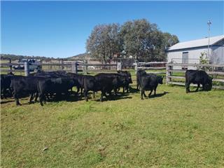 25 Unweaned Heifers