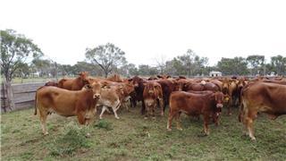 56 Station Mated Heifers & 56 Calves