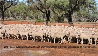 450 Wether Lambs