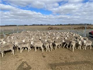 270 Wether Lambs