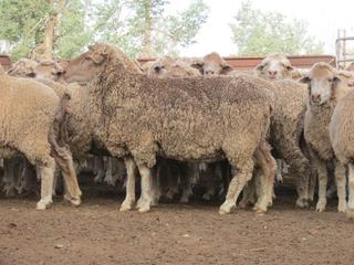 169 Station Mated Ewes