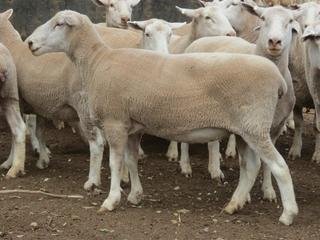 24 NSM Ewes