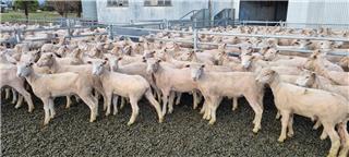 118 Mixed Sex Lambs