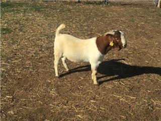 1 Goat - Buck