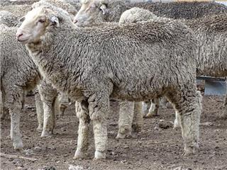 117 Store Wether Lambs