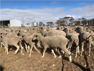 112 Ewe Lambs