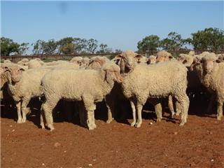 600 Store Wether Lambs