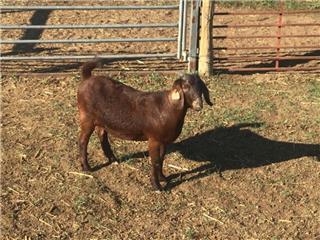 1 Goat - Doe