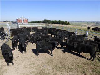 50 Unweaned Steers