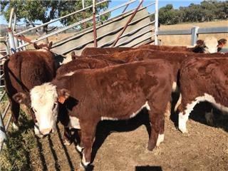 12 Weaned Steers