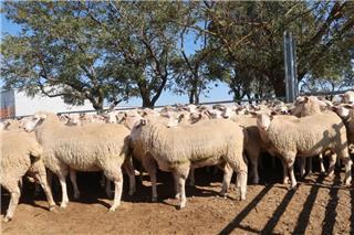 110 Scanned Empty Ewe Lambs
