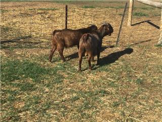 2 Goats - Bucks
