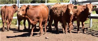 9 Unweaned Heifers
