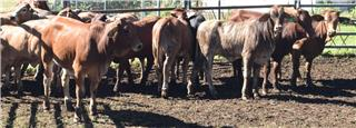 27 Unweaned Heifers