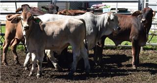 15 Unweaned Steers