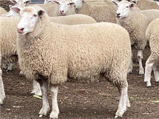 90 SIL Ewes
