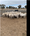 28 Scanned Empty Ewes