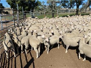 404 Future Breeder Ewe Lambs