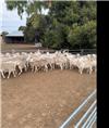 56 Future Breeder Ewe Lambs
