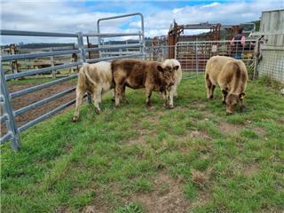 4 Unweaned Heifers