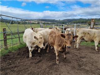 7 Unweaned Steers