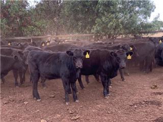 116 Weaned Heifers
