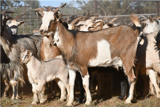 450 Goats - Does