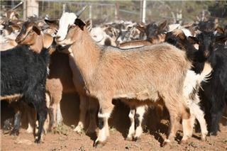 190 Goats - Mixed Sex