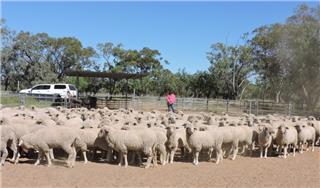 171 Ewe Lambs