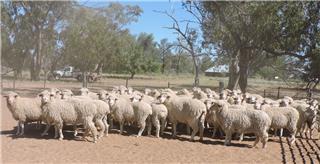 54 NSM Ewes
