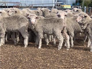 109 Woolgrower Wethers