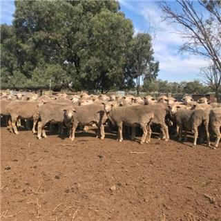 110 Scanned Empty Ewes