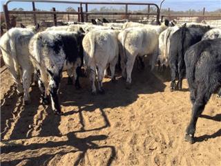 19 Weaned Steers
