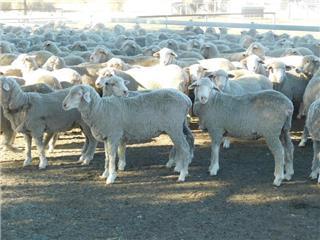 390 NSM Ewes
