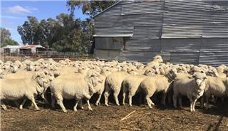 210 SIL Ewes