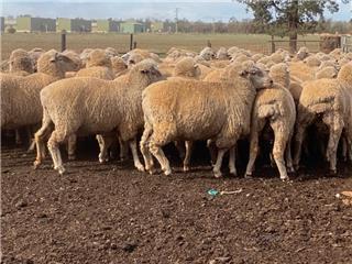 154 Ewes