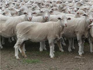150 SIL Ewes