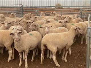 52 SIL Ewes