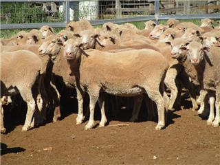 168 NSM Ewes