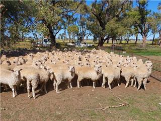380 NSM Ewe Lambs