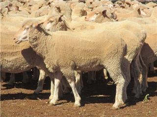 370 Scanned Empty Ewes