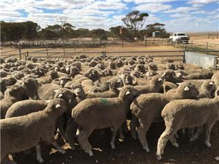 175 Store Wether Lambs