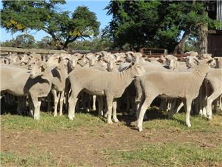 69 Future Breeder Ewe Lambs